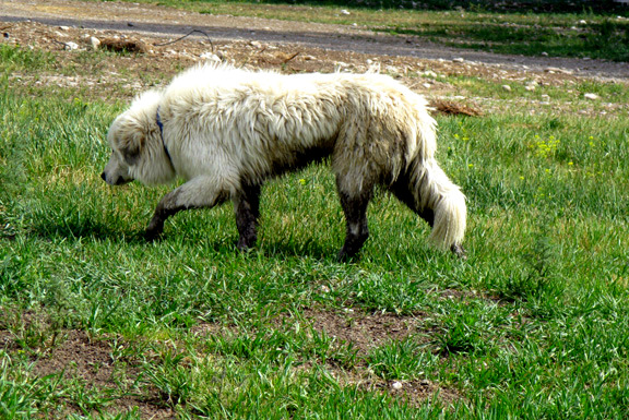 Sophie one of our female Great Pyrenees Livestock Guard Dogs