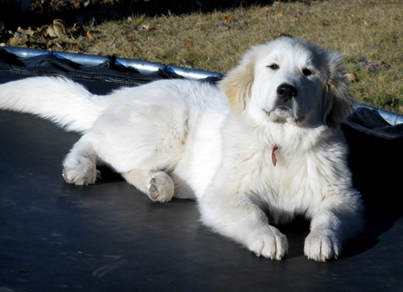 Jackie the Great Pyr
